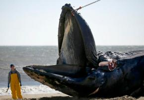Perfect storm behind dead whales washing up in Hampton Roads