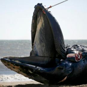 Perfect storm behind dead whales washing up in HamptonRoads