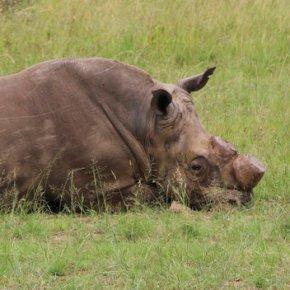 Despite poaching, South Africa plans for rhino horntrade