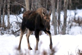 Alaska residents warned to give grumpy moose theirspace