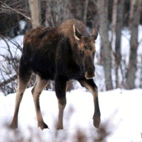 Alaska residents warned to give grumpy moose their space