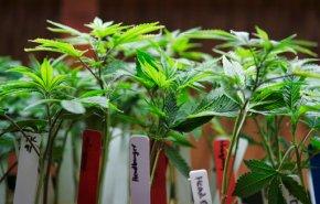 Marijuana safer than opioids, but moms shouldn'tuse