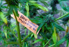 Police object to California marijuana regulationrevamp