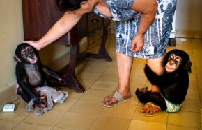 Cuban biologist raises 2 chimpanzees in her Havanaapartment