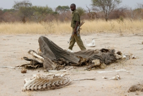 Poachers target Africa's lions, vultures withpoison