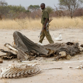 Poachers target Africa's lions, vultures with poison