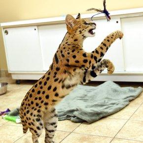 Big cheetah-like feline captured inPennsylvania