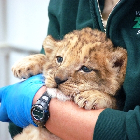 Zoo has a new lion cub