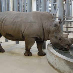 Virginia Zoo welcomes new male rhino