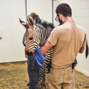 Zoo welcomes baby zebra, asks public for naming help