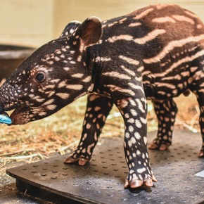 "Virginia Zoo announces new tapir baby ""Luther"""