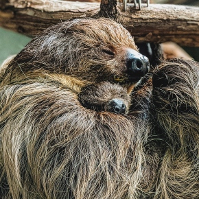 First sloth born at Virginia Zoo