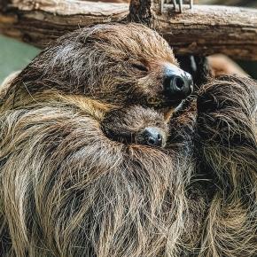 First sloth born at VirginiaZoo